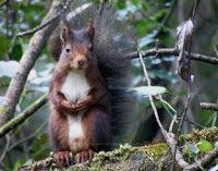 O Esquilo vermelho em Tomar