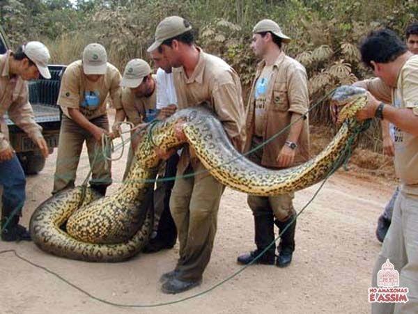 Corpo de Bombeiros recolhendo uma Anaconda