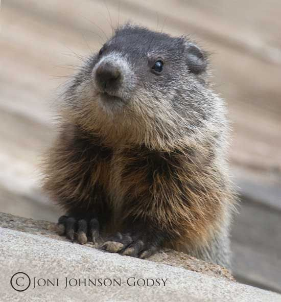The Baby Groundhog