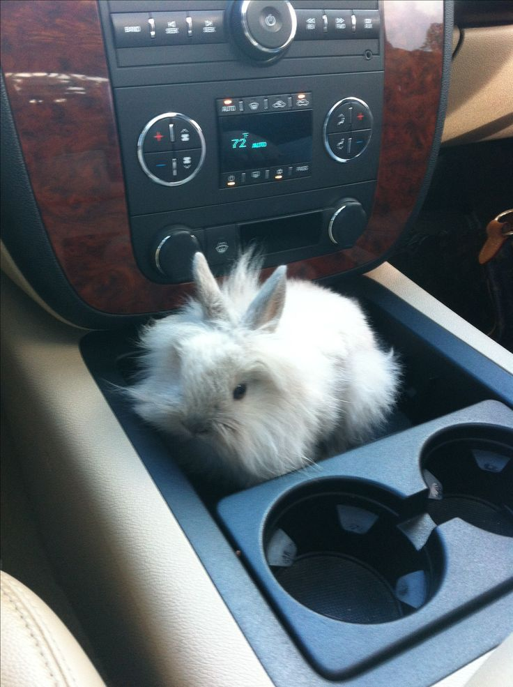 Lionhead Rabbit - cars should have rabbit holders next to the cup holders