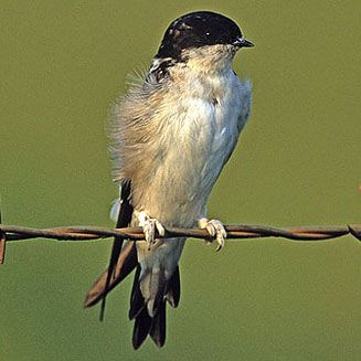 Common House Martin, Dehoop Nature Reserve, South Africa