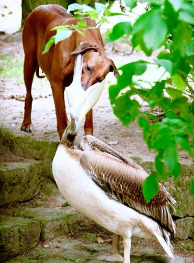 Dog and pelican food fight !