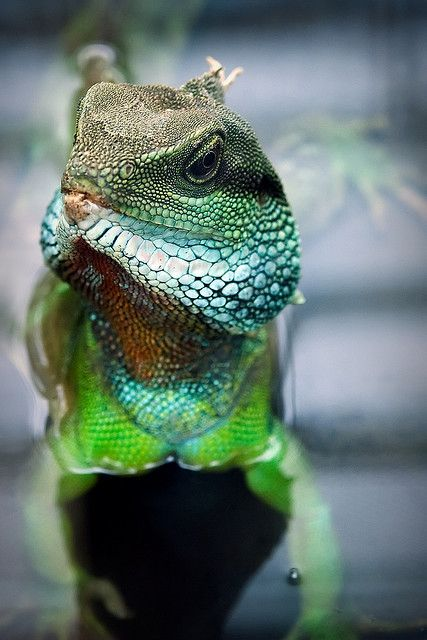 chinese water dragon (via Pinterest: Discover and save creative ideas)