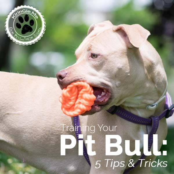 BREED doesn't make or break a dog -- training and love do! Training tips from Cesar Millan + fun facts about pit bulls