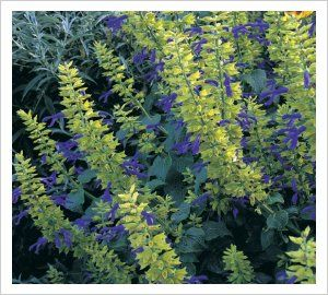 Salvia mexicana 'Limelight' - from Lambleys: One of the best plants in our garden where it makes a shrubby 180cm x 150cm in a season. Salvia 'Limelight' has...