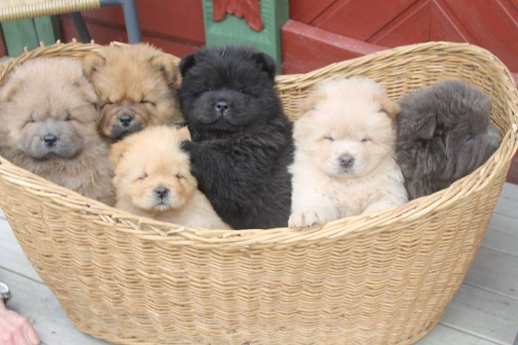 Babies, Baskets and Chow chow on Pinterest