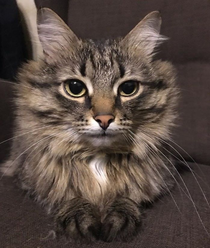 30 Best Norwegian Forest Cat Names Norwegian Forest Cat Forest Cat Norwegian Forest