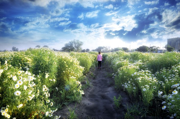 daisy flower fields during spring time and small little girl child walking towards the dramatic blue sky shot from behind rear view with 18-55 mm lens on Nikon D-5100 with slight vignette added in post processing or editing which gives it a dreamy dramatic look