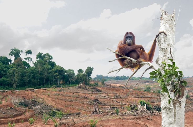 Bad news for the rainforest and its inhabitants: Indonesia's President Widodo is planning a $1.35 billion biofuel subsidy that would dramatically speed up deforestation. The palm oil barons are looking forward to the windfall and are ready to fire up the chainsaws. Please speak out against this insanity!