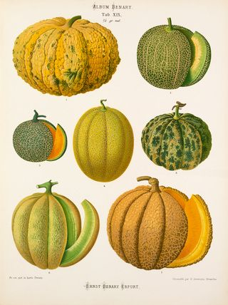 Kõrvits. A Chromolithograph plate of Melon varieties taken from the Album Benary. The Album contains 28 colour plates in total of vegetable varieties by Ernst Benary which are named in the accompanying page in German, English, French and Russian. Creator: Benary, Ernst (1819-1893). Date: 1877