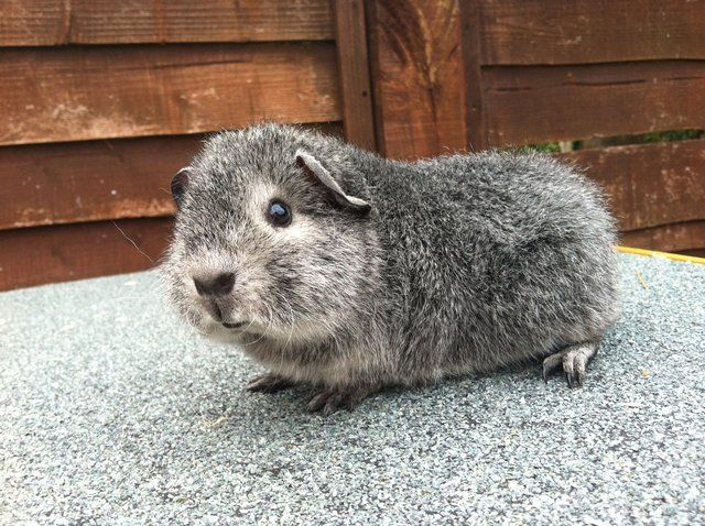 Rex guinea pig | Baby rex guinea pig for sale in march | Posot Class