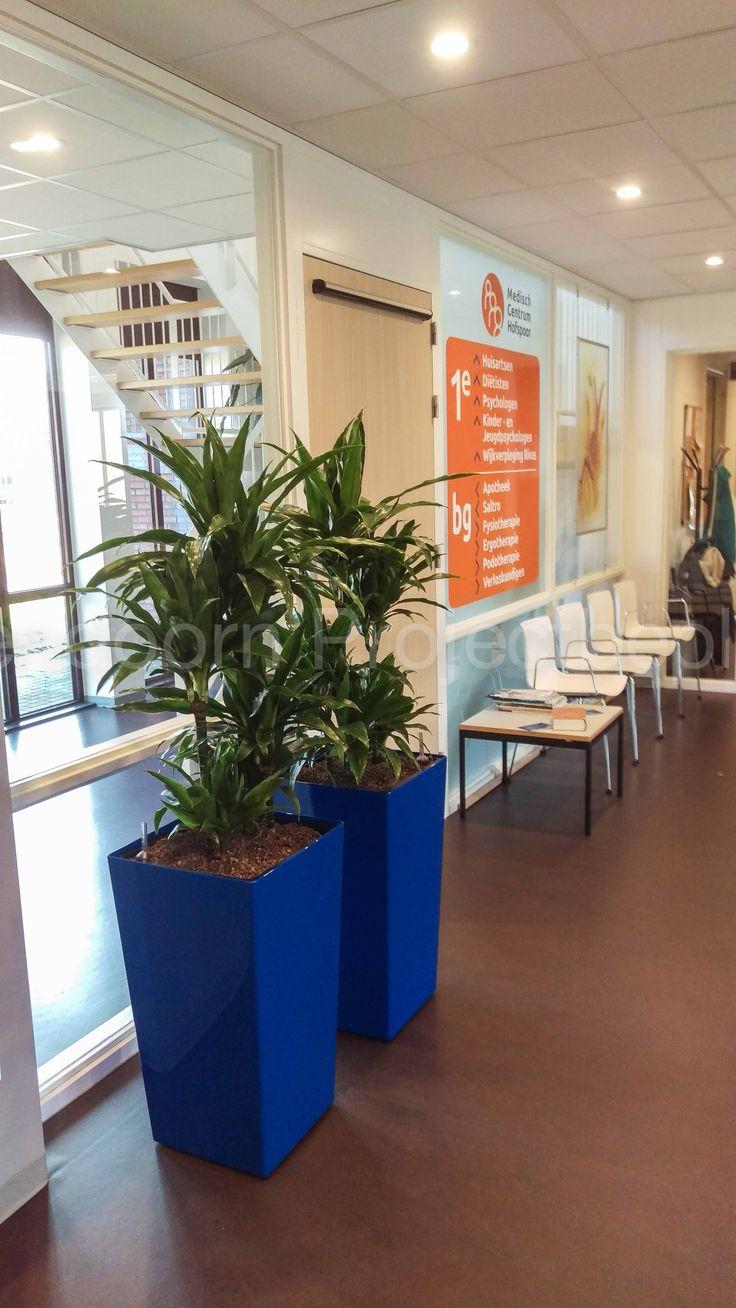 Phoenix rise (in kleur van het logo) met Dracaena janet craig in de entree van Medisch Centrum Hofspoor in Houten.