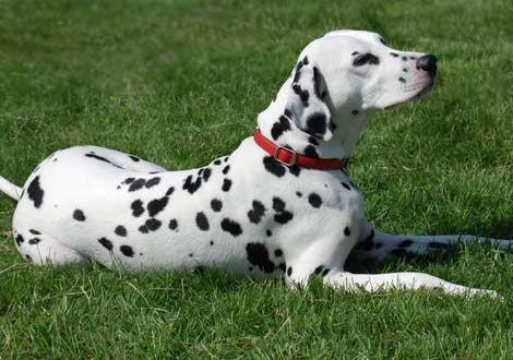 dalmatian | Free Jpeg Image of Dalmatian Dog