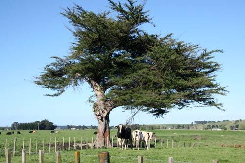 The Macrocarpa tree with stands many different elements of New Zealand weather. Check out Macs Macrocarpa custom made furniture: http://www.macsmacrocarpa.co.nz/products.html