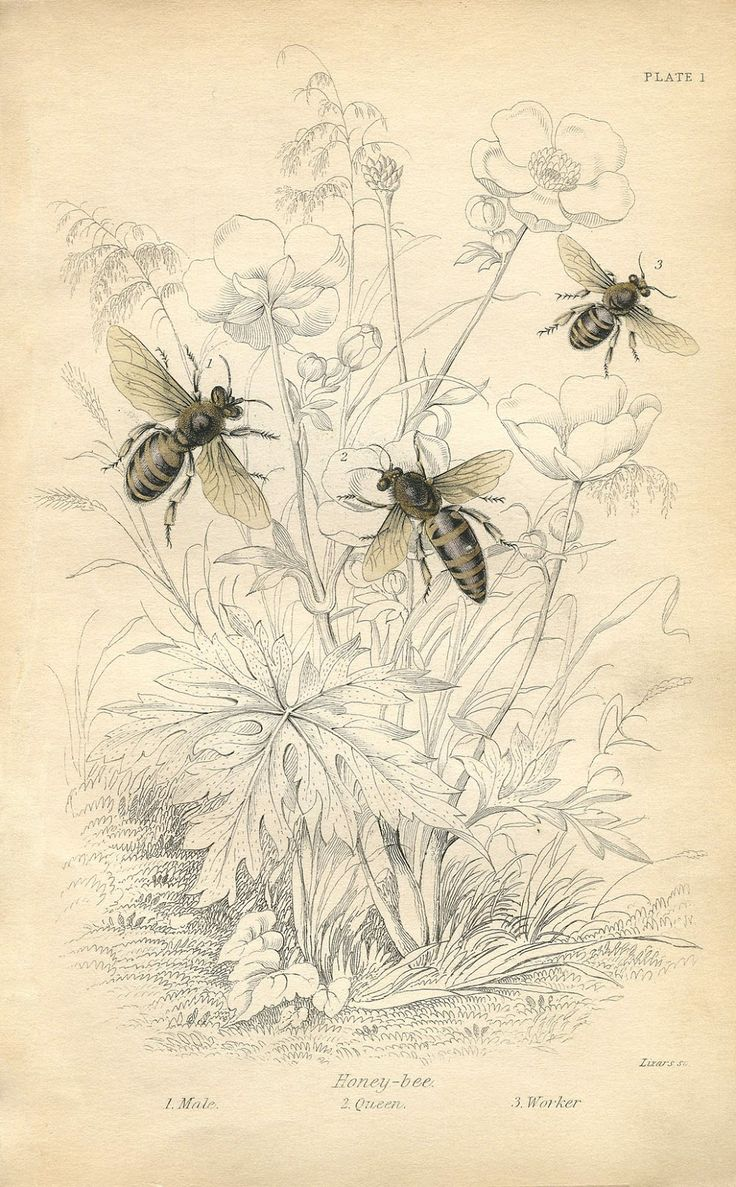 Vintage Printable - Honey Bees - Instant Art - The Graphics Fairy