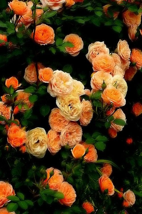 Orange Garden Rose 1043 best roses images on pinterest | flowers, beautiful roses and