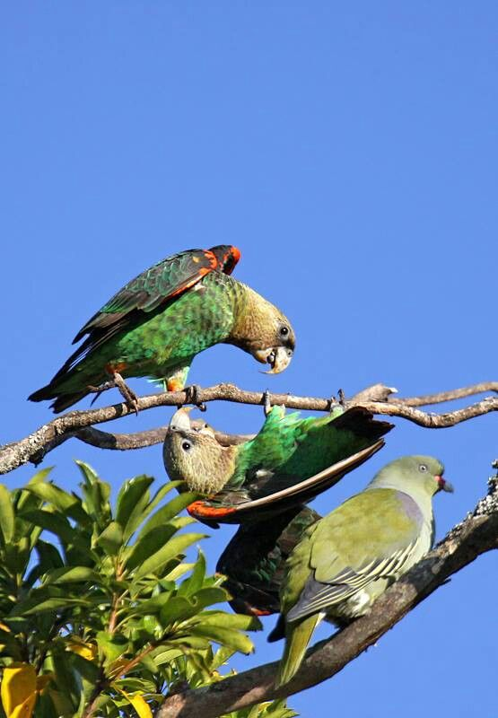 Cape Parrots and Green Pigeon