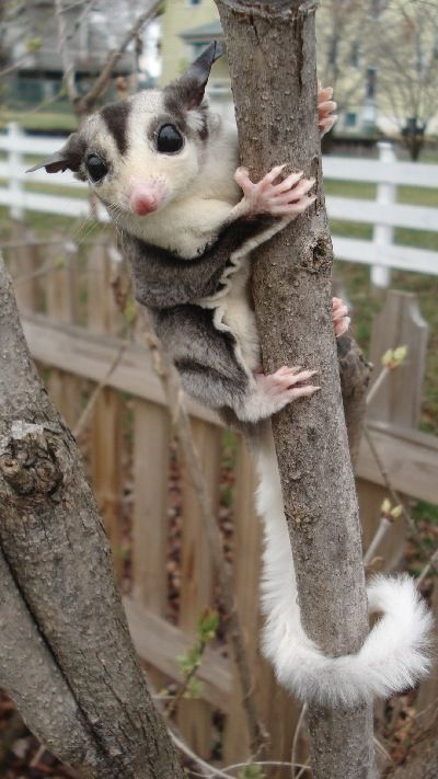 leucistic and mosaic sugar gliders | Introducing New Gliders - Any two gliders should be carefully ...