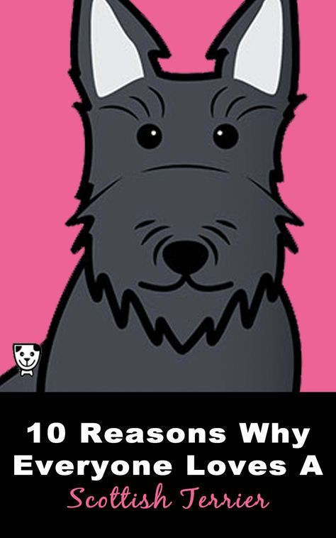 10 Reasons Why Everyone Loves A #ScottishTerrier #Scottie