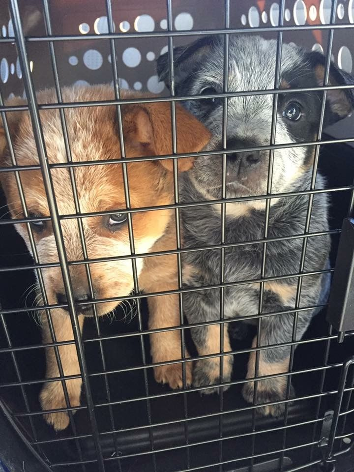 17 Best ideas about Cattle Dogs on Pinterest   Adorable ...