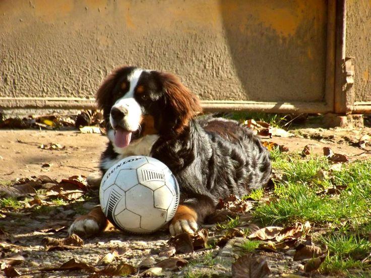 #Balu <3 Bernese Mountain Dog #Autumn