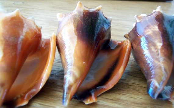 Conch Shells - Supplies of Four Florida Fighting Conch Shells two to three inches long (TimelessTreasuresByB Etsy shop)