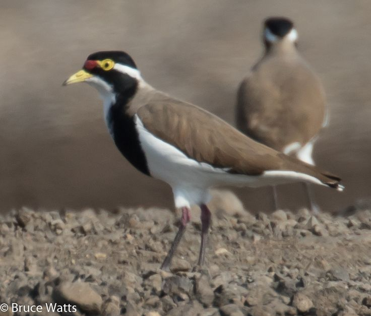 Banded Lapwing - Windy Station