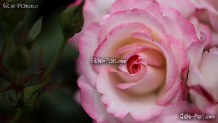 Обои роза, розы, цветок, цветы, флора, растения на рабочий стол — картинка №639952