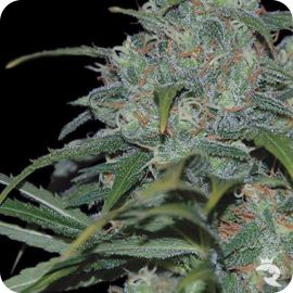 Wild Thailand - strain - World of Seeds | Cannapedia