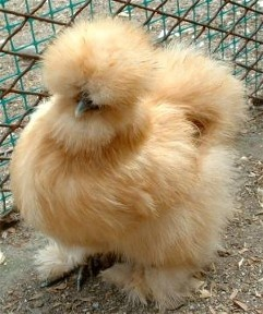 I miss our Buff Silkie Peaches :(