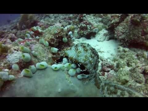 Sea cucumber. Maldivers - YouTube