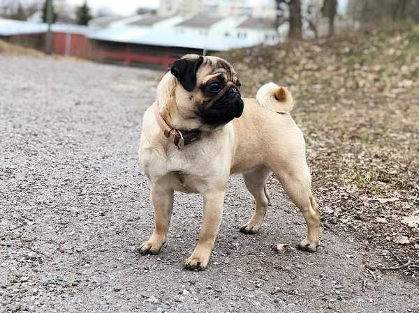 Pug Dog Breed Information Dog Breeds Dogs Pugs