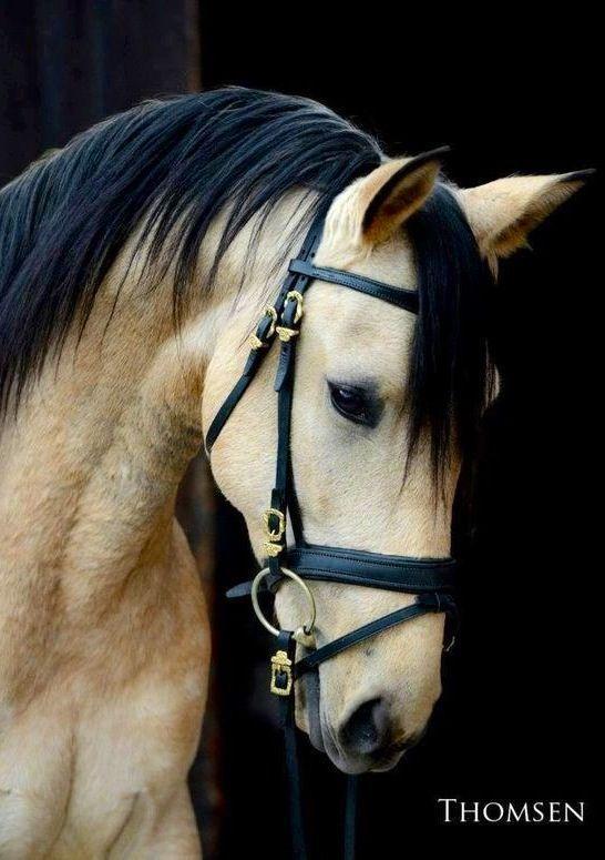 Beautiful buckskin, favorite horse