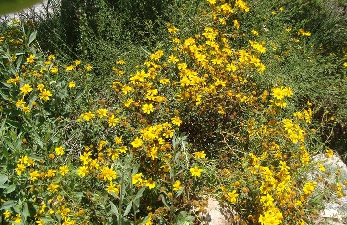 17 best images about california native plants on pinterest