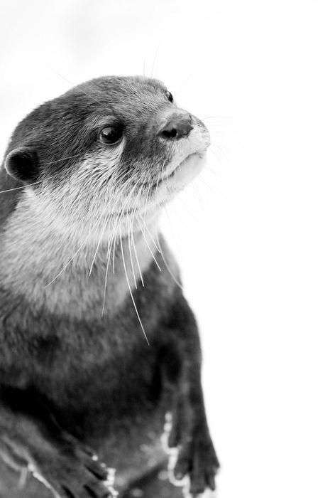Otter portrait in black & white