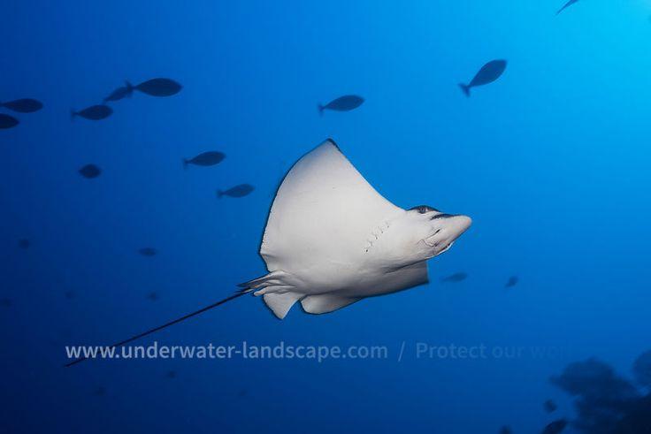 Raie Aigle - Image sous marine Eagle Ray  #underwater #ray #stingray #raie #eagle #aigle #wildlife #sea #ocean #lagoon