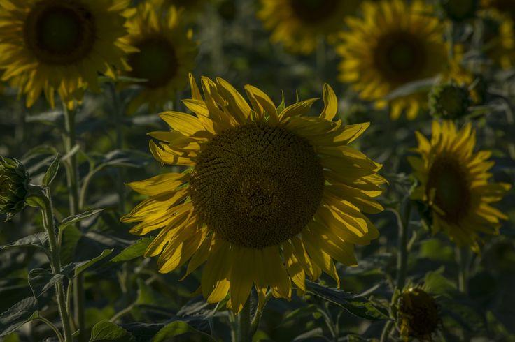 Sunflower always delights... - null