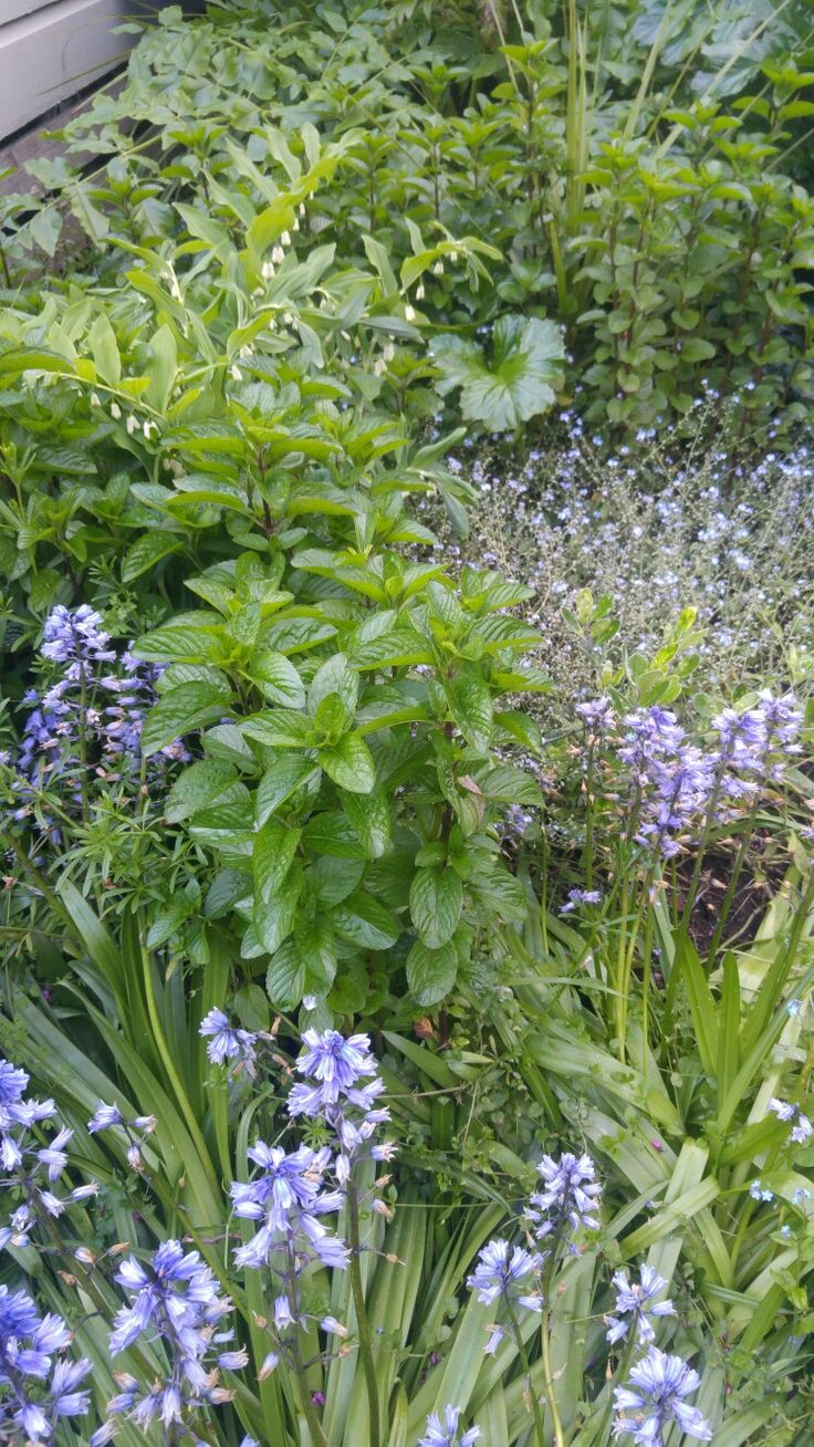 Mint, bluebells, forget- me-nots, Lily of the valley. 17