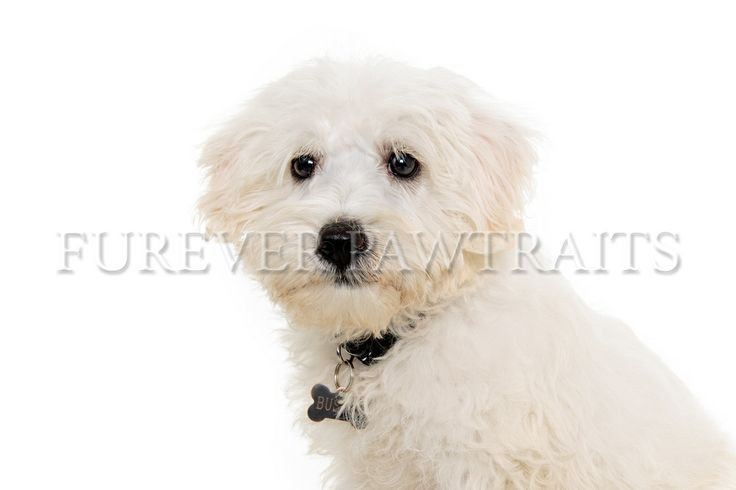 Buster is a 12 week old chonzer  Furever Pawtraits - Perth Pet Photographer  Photographer - Robbie Goodall