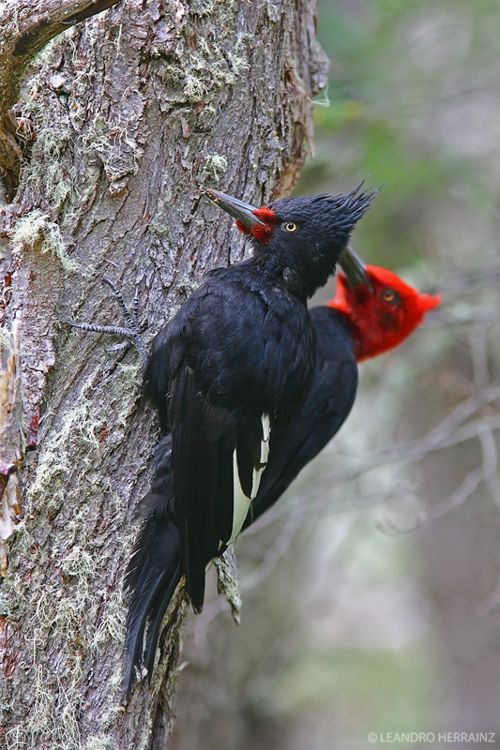 Magellanic Woodpeckers    (photo by leandro herrainz)