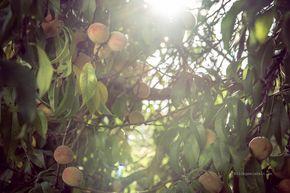 Altes, einfaches Rezept zum Pfirsiche einmachen mit Einmachgläsern. Über die Ofenhitze funktioniert das Haltbarmachen der Pfirsiche.