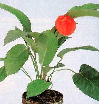 Anthurium - anturio - Come curare e coltivare la vostra Anthurium