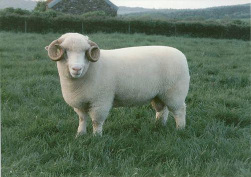 EBLEX realiza una interesante investigación sobre los pesos de los corderos de 8 semanas de edad en función de sus factores genéticos y los factores ambientales de crianza