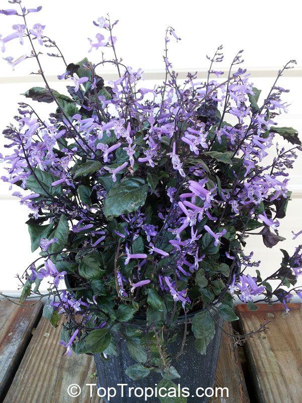 plectranthus ecklonii mona lavender flores pinterest. Black Bedroom Furniture Sets. Home Design Ideas
