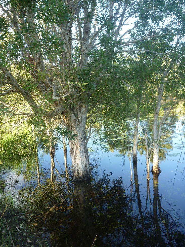 Niaouli (Melaeuca quinquenervia CT Niaouli) Byron Bay wetlands.