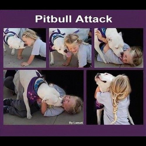 A pitbull attack! Huh...This IS the kind of attack you get from a pitbull....Ours is 8 years old and is the biggest baby I have ever seen! Wouldn't change him for the world. He is part of our family!! I love my Titan...You should love one too!!!