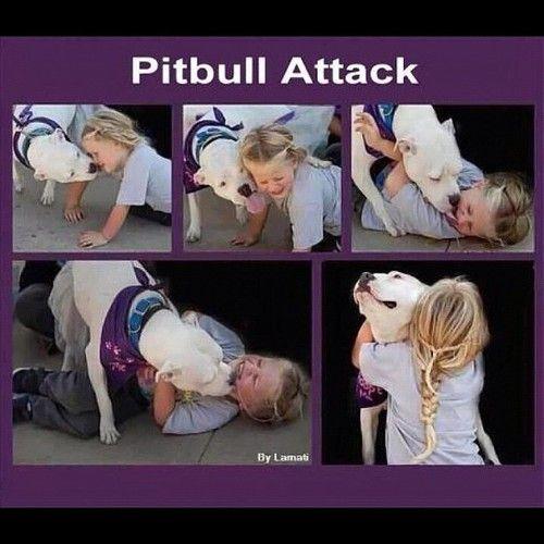 pitbull attack!
