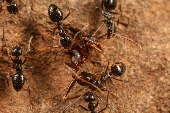 La fourmi éthiopienne va-t-elle envahir le monde? - Edition du soir Ouest France - 07/12/2016 Les scientifiques ont découvert des supercolonies de 38 km. (Photo : Wikipedia)