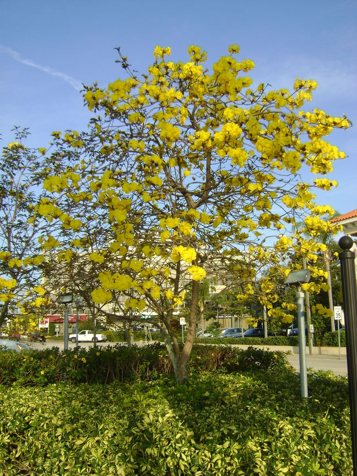 Florida tree images and names yellow tabebuia click to for Landscaping plants pictures and names