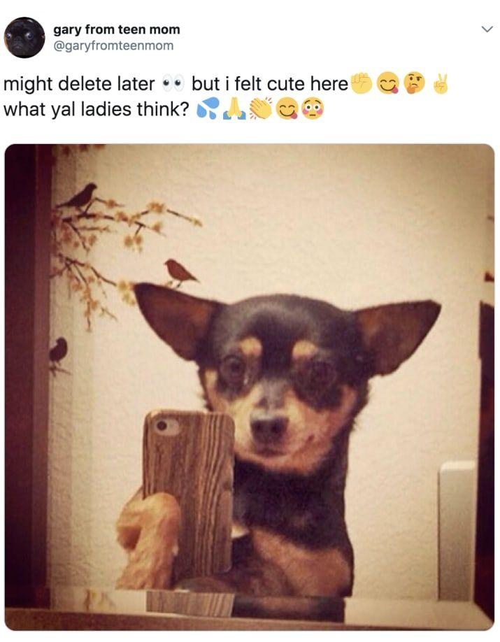 100 Chihuahua Memes That Ll Make You Laugh Harder Than You Should